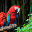 Parrot Mother and child colorful — Stock Photo