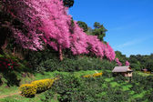 Sakura pink flower in Chiangmai Thailand — Stock Photo