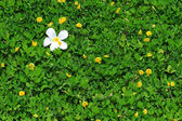 White Flowers on the yellow field. — Stock Photo