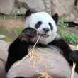 Giant panda bear eating bamboo  — Stock Photo