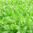Hydroponics Vegetable — Stock Photo