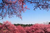 Sakura in ChiangMai, Thailand — Stock Photo