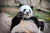 Großer panda bär essen bambus — Stockfoto
