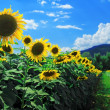 Sunflower in the field with blue sky — Stock Photo