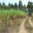 sugarcane and country road — Stock Photo