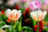 Jardín de tulipanes — Foto de Stock
