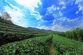 Tea farm under the blue sky with cloud — Stock Photo