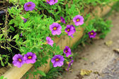 Petunias flower — Stock Photo