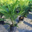 Stock Photo: Oil palm sapling