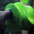 Stock Photo: Green snake