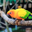 Stock Photo: Colourful Sun Conure parrot bird kissing on the perch