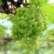 Green grapes on vine  — Stok fotoğraf