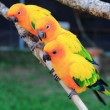 Colourful Sun Conure parrot bird kissing on the perch — Stock Photo