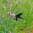 Butterfly feeding on pink flower  — Stock Photo