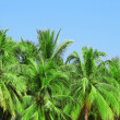 Palm tree with coconut — Stock Photo #28766569