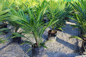 Oil palm sapling — Stock Photo