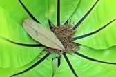 Widok zanokcica zielona w centrum z suchych liści — Zdjęcie stockowe