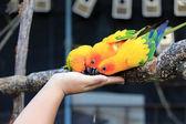 Colourful Sun Conure parrot bird feeding on hand — Stock Photo