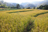 Paddy field in northern of Thailand, Chaingmai — Stock Photo