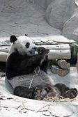 ジャイアント パンダが竹を食べる — ストック写真