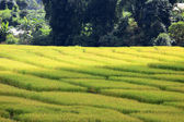 Paddy rice field — Stock Photo