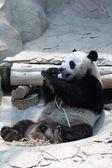 Panda géant manger en bambou — Photo