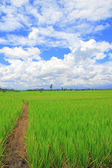 Paddy rice field under blue sky — Stock Photo