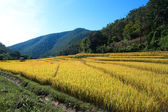 Rice field with cottage hill and blue sky — Stock Photo