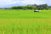Paddy rice field with hill background — Stock Photo
