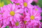Blooming beautiful pink flower — Stock Photo