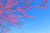 Sakura pink flower in Chiang Mai, Thailand — Stock Photo