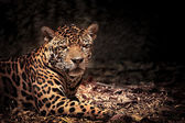 Close up of leopard with intense eyes — Stock Photo