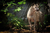 Portrait of spotted hyena — Foto Stock