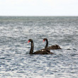 Swans at the Beach 2 — Stok fotoğraf