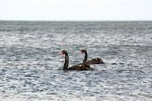 Swans at the Beach 2 — Stock Photo