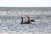 天鹅在海滩 2 — 图库照片
