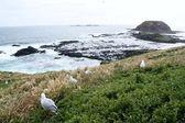 Rugged Coastline of Phillip Island — Stock Photo