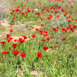 Wild red poppy flowers field — 图库照片