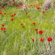 Wild red poppy flowers field — Stok fotoğraf