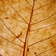 Transparent leaf texture — Stock Photo