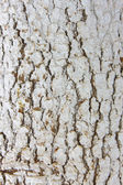 Bark of pine tree trunk texture painted in white background — Stock Photo