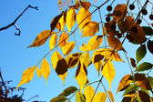 Yellow leaves aginst blue sky — Stockfoto