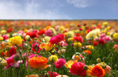 Flowers in fiels against blue sky — Foto Stock