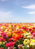 Flowers field — Stock Photo