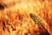 Closeup of plant in golden field — Stock Photo