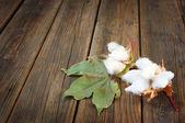 цветы хлопок — Стоковое фото