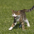 Cat runs on a lawn — Stock Photo