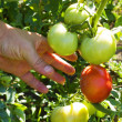 The man hand picking a tomato on branch tree. — Stock Photo
