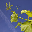 Close up on young grapevine leaves — Stock Photo