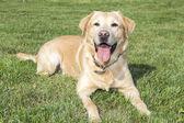 Yellow labrador retriever on green grass lawn — Stock Photo